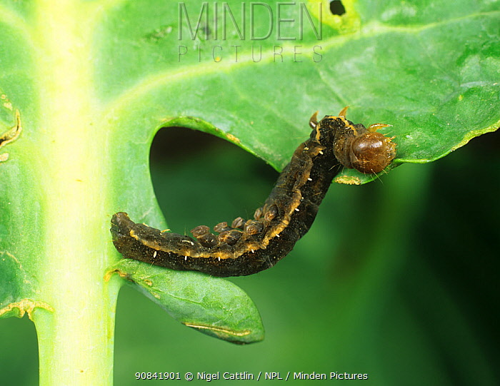 Tomato moth (Lacanobia oleracea) caterpillar after treatment with Bacillus thuringiensis pesticide.