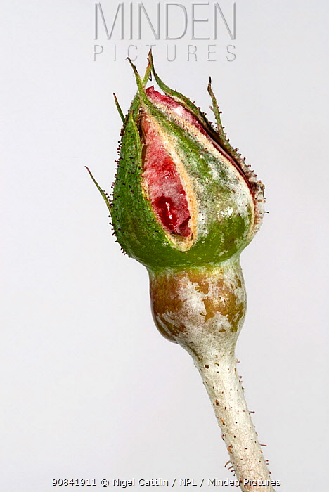 Powdery mildew (Sphaerotheca pannosa) on a Rose bud (Rosa sp).