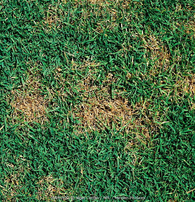 Light circular patches of Dollar Spot disease (Lanzia) in a lawn.