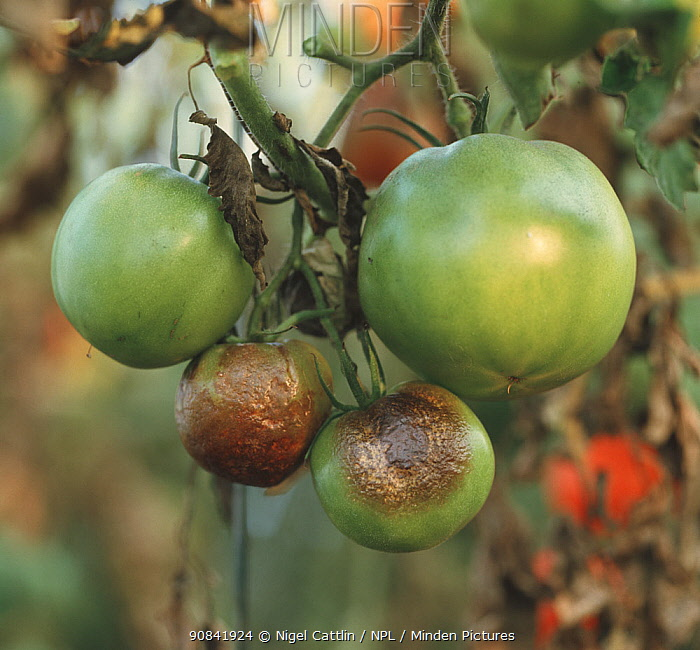Tomato Late Blight (Phytophthora infestans) on fruits and peduncle.
