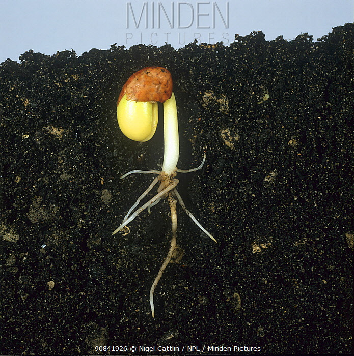 Bean seed germinating, showing root development