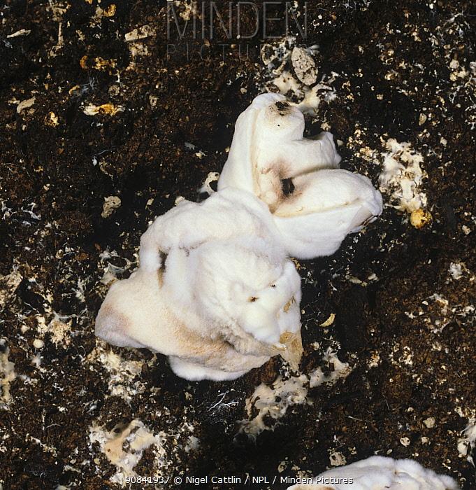 Dry bubble (Verticillium fungicola) disease on commercially grown edible mushroom