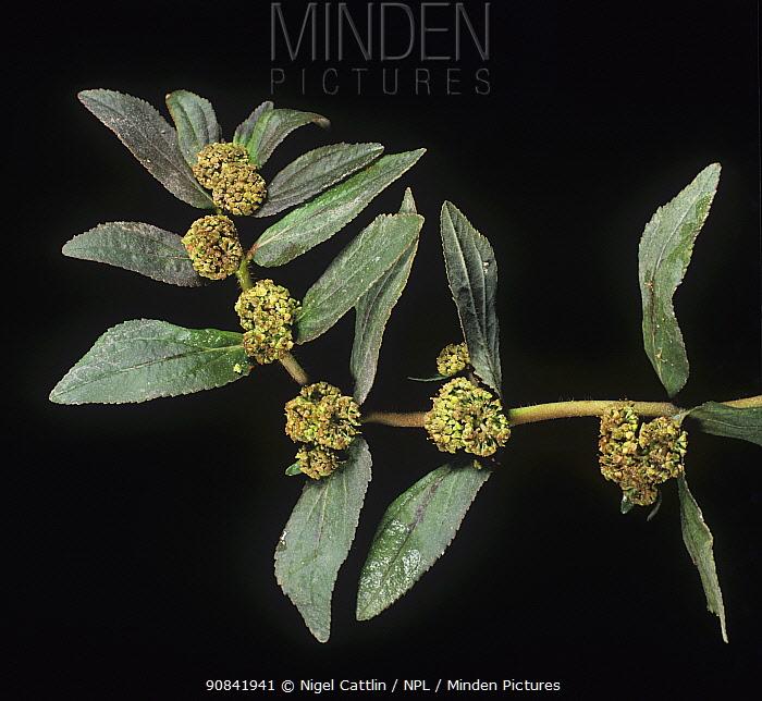 Asthma weed / cats hair / pill-bearing spurge (Euphorbia hirta) flowering plant