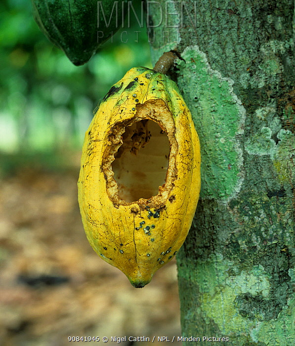 Rat or squirrel rodent damage to a cocoa pod (Theobroma cacao) on the bush, Malaysia