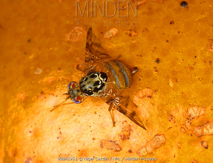 Mediterranean fruit fly (Ceratitis capitata) feeding on Orange fruit. October.