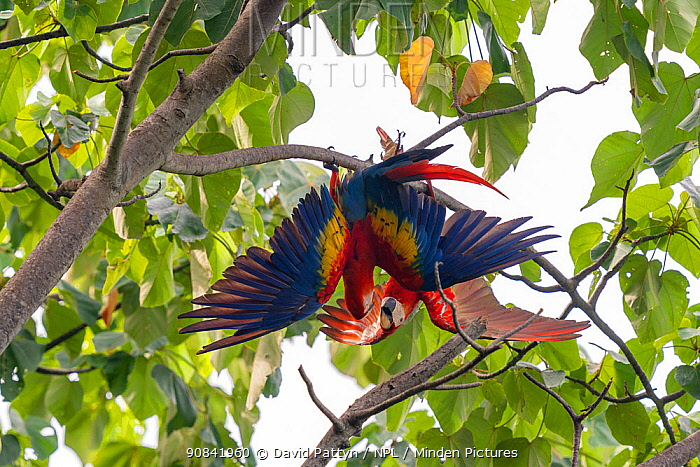 Scarlet macaw (Ara macao) pair fighting in a tree, Corcovado National Park, Osa Peninsula, Costa Rica.