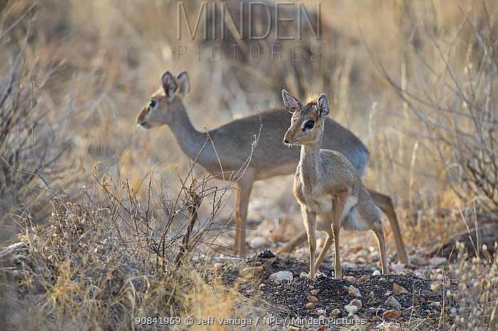 Kirk's dikdik (Madoqua kirkii) marking territory by defecating in a central locations. Samburu Natioanal Reserve. Kenya.
