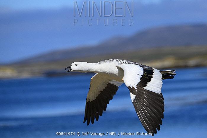 Kelp goose (Chloephala hybrida) in flight, New Island, Falkland Islands.