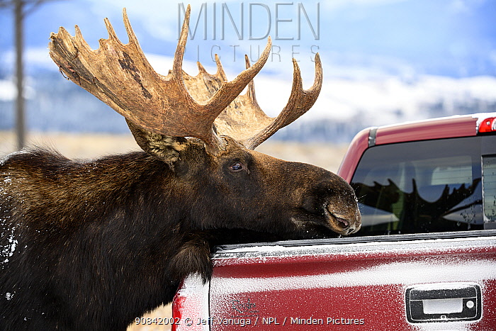 Moose (Alces alces) bull licking salt from snow covered pickup. Grand Teton National Park, Wyoming, USA. February.