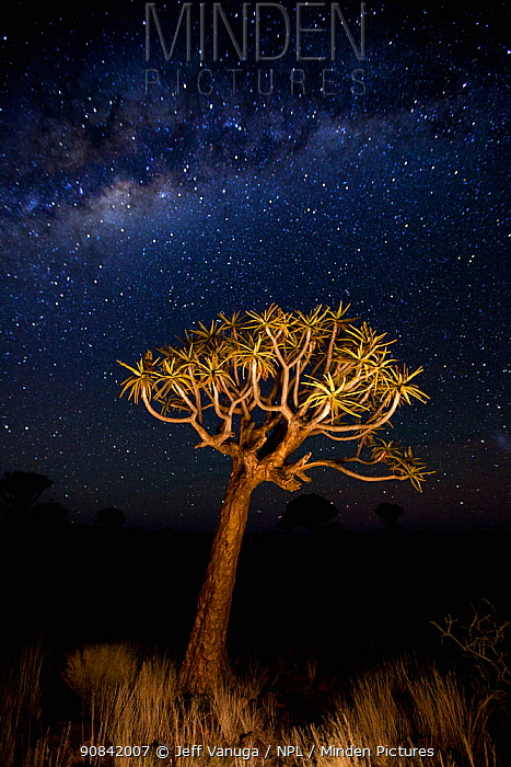Quiver trees (Aloe dichotoma) at night, Quiver Tree Forest near Keetmashoop, Namibia