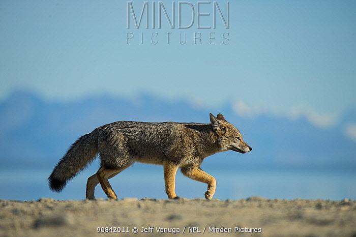 Patagonian grey fox (Ducicyon griseus) along Lake Argentino, Argentina.