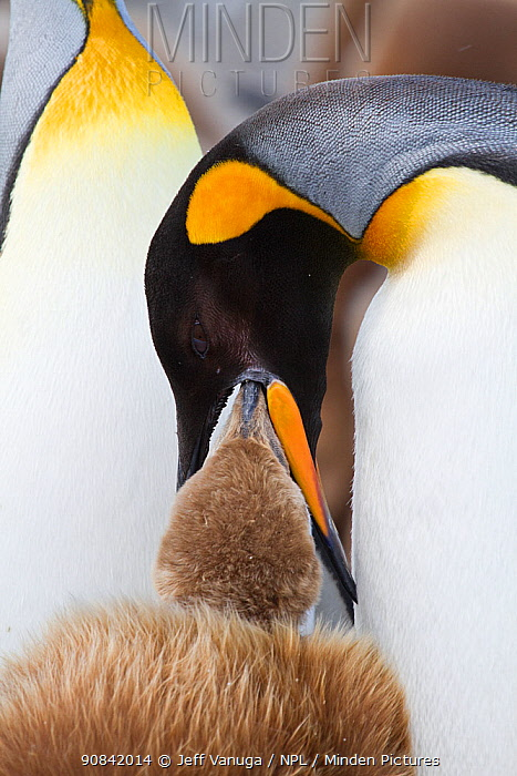 King Penguin (Aptenodytes patagonica patagonicus) adult feeding chick, regurgitating food, St. Andrews Bay, South Georgia Island, Antarctica.