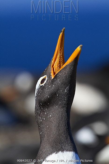 Gentoo penguin (Pygoscelis papua) West Point, Falkland Islands.