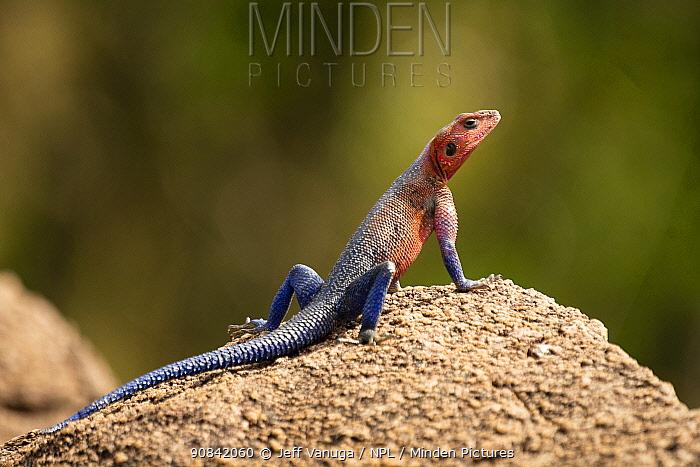 Agama lizard (Agama agama) sunning on a rock in the Serengeti Plains, Tanzania.