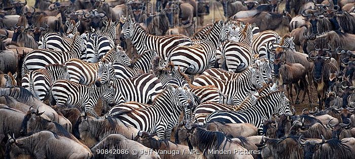 Common zebra (Equus quagga burchelli) herd with Wildebeest (Connochaetes taurinus), Masai Mara Game Reserve. Kenya.