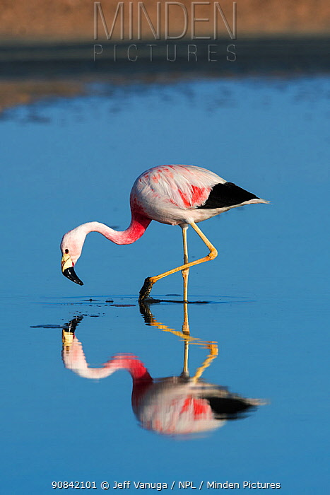 Andean flamingo (Phoenicoparrus andinus) wading, reflected in water, Los Flamencos National Reserve, Chile.