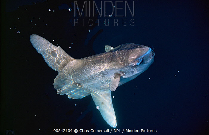 Ocean sunfish (Mola mola) seen underwater, by the isle of Barra in the Western Isles, Scotland. A rare visitor to British waters.