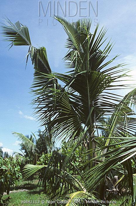 Ragged damage to coconut palm fronds caused by rhinocerus beetle (Oryctes rhinoceros) feeding, Mindanao, Philippines, February