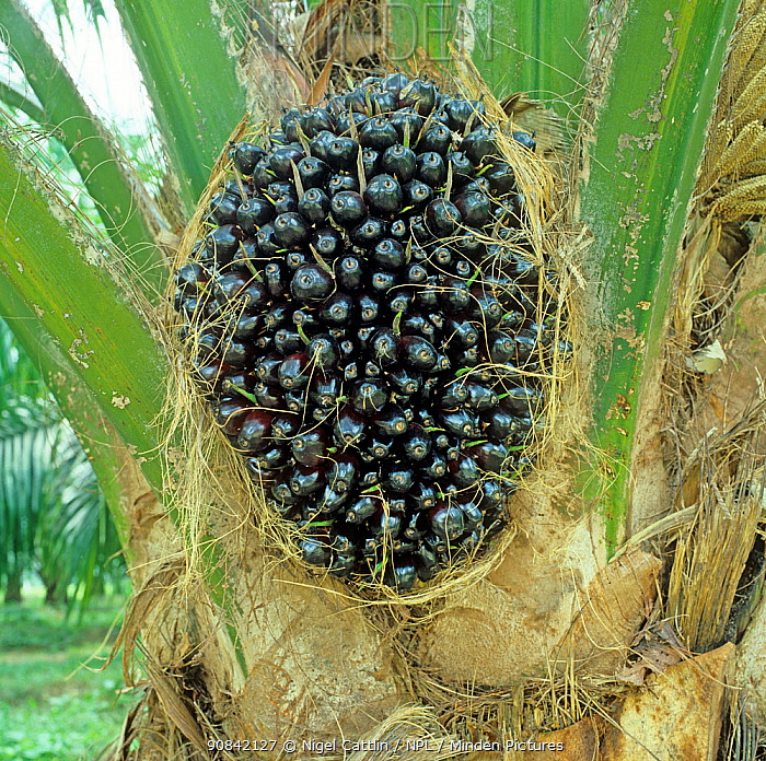 Oil palm (Elaeis guineensis) in a plantation with dark mature fruit before harvesting for oil extraction, Malaysia, February