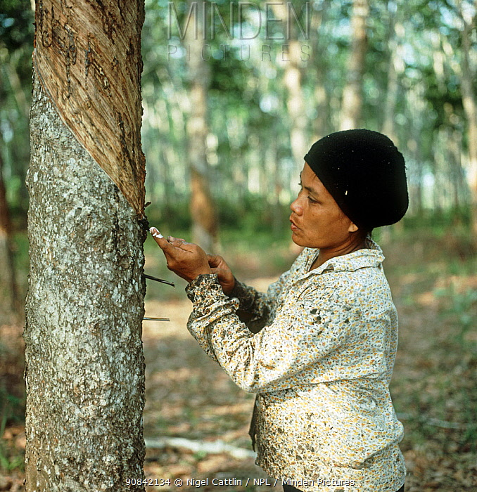 Woman making an angled cut through the bark of a rubber tree to tap into the latex vessels in the bark of a rubber tree, Malaysia, February