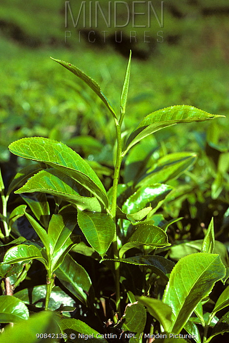 Young tea leaves, the picked stage of the crop, in the estates of the CDameron Highlands, Malaysia, February