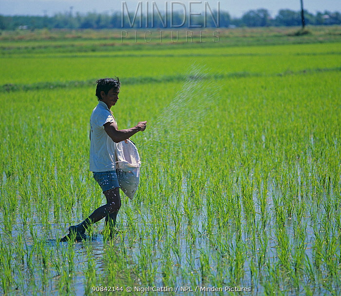 Filipino broadcasting fertilizer from a sack by hand into a seedling crop of onto paddy rice (Oryza sativa), Luzon, Philippines, February