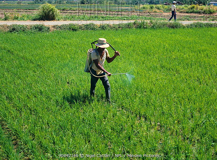 Filipino spraying in a young upland rice (Oryza sativa) crop with a knapsack sprayer, Luzon, Philippines