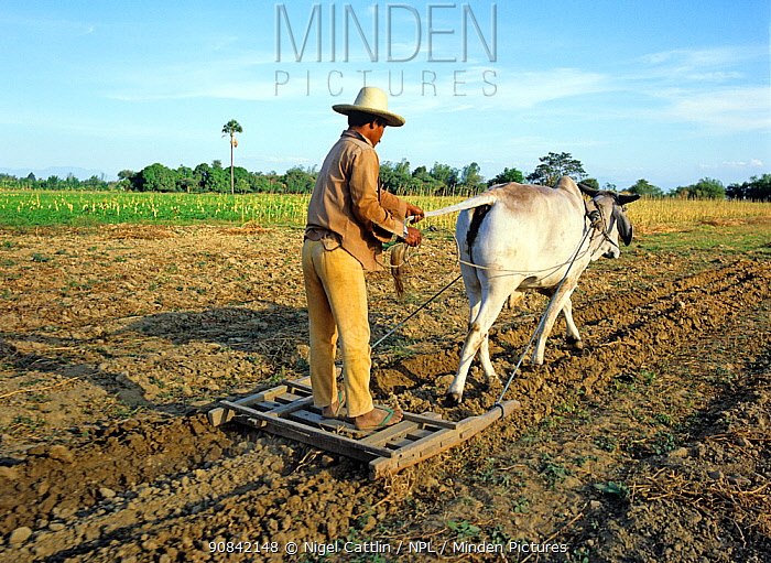 Filipino farmer harrowing and breaking up ploughed field by standing on a small press behind a zebu ox, Luzon, Philippines, February