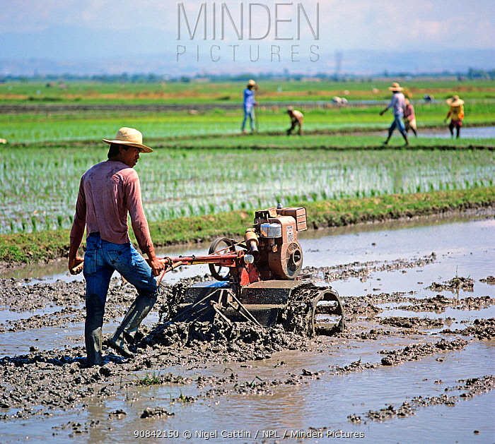 Man walking behind a mechanical, powered, rotovator turning soil in a flooded rice paddy before planting a seedling crop, Luzon, Philippines, February