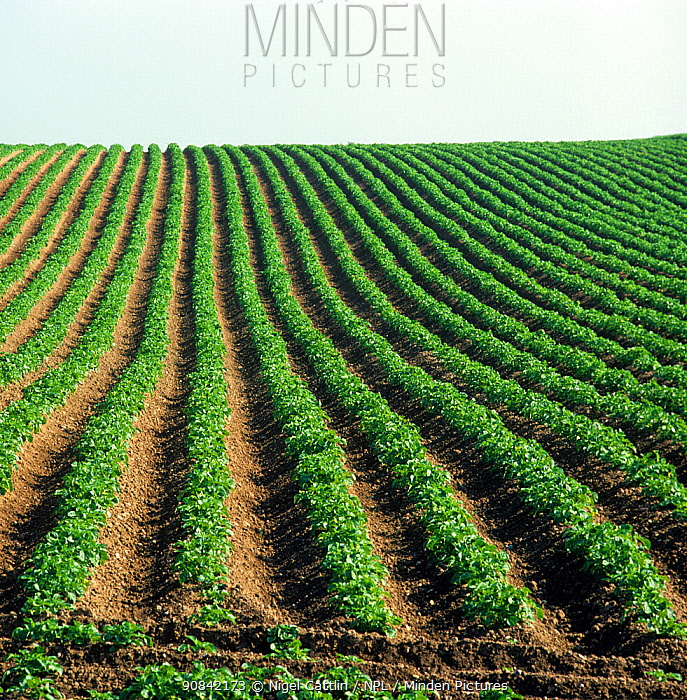 Immature potato crop in even ridged rows converging towards the the horizon on a rising field