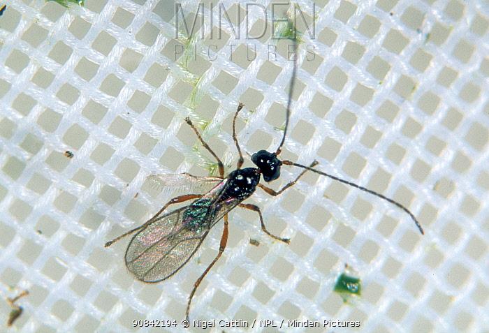 Female parasitoid wasp (Aphaereta debilitata) a parasite of shore fly larvae, a pest in lettuce crops