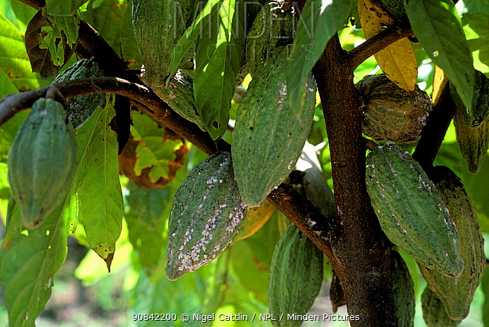 Cocoa or coffee mealybug (Planococcus lilacinus) infestation on mature unripe green cocoa (Theobroma cacao) pods, Malaysia, February