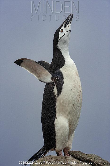 Chinstrap penguin (Pygoscelis antarctica) displaying, Aitcho Islands, South Shetland Islands, Antarctica.