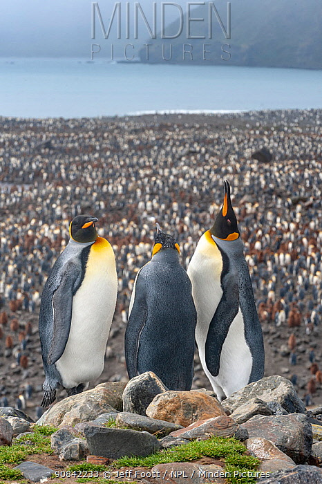 King Penguin (Aptenodytes patagonicus) colony at Salisbury Plain, South Georgia. 