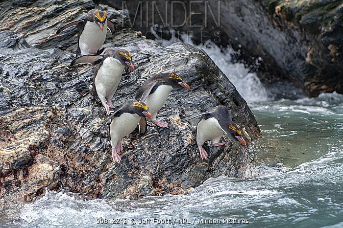 Macaroni penguins (Eudyptes chrysolophus). Royal Bay. South Georgia.