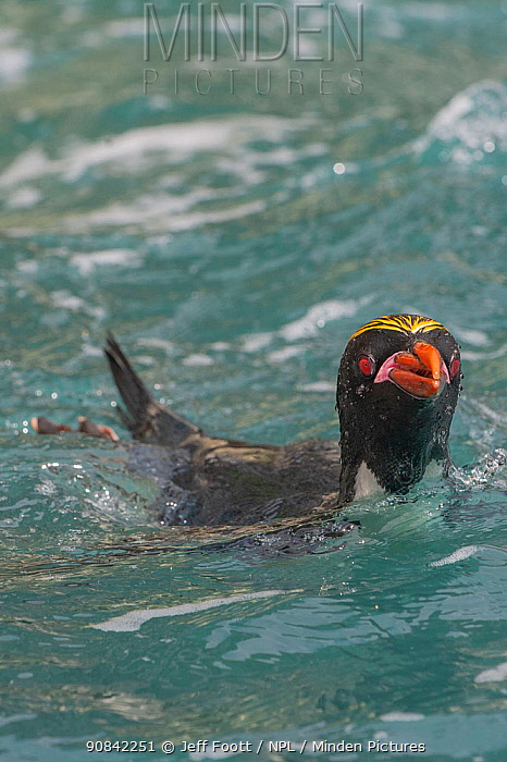 Macaroni penguins (Eudyptes chrysolophus) in water. Royal Bay, South Georgia. Medium repro only