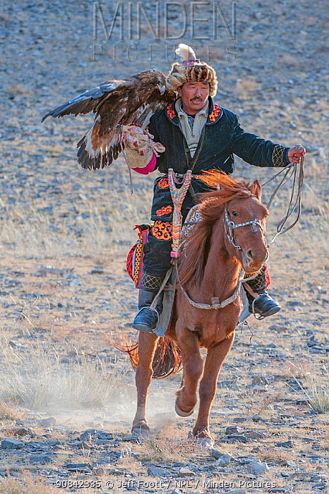 Eagle hunter on horse with female golden eagle (Aquila chrysaetos) at the Eagle Hunters festival, nearing finish line. Near Ulgii Western Mongolia. Medium repro only