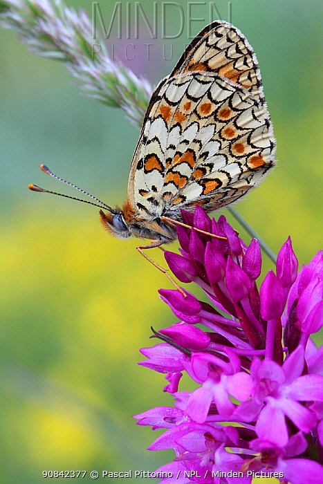 Spotted fritillary butterfly (Melitea didyma) on Pyramidal orchid (Anacamptis pyramidal) Grands Causses Regional Natural Park, Lozere, France, June