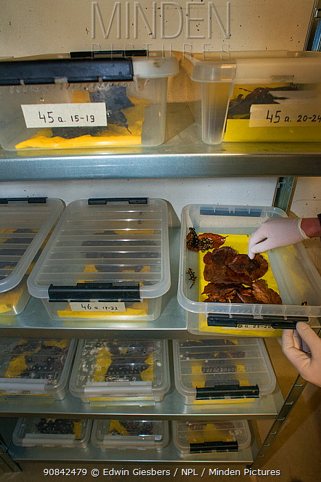 Wild Fire salamanders (Salamandra salamandra) keep in plastic trays, part of a program to capture the last wild population in the Netherlands and keep it safe in GaiaZOO to prevent infection from a deadly fungus, Batrachochytrium dendrobatidis. The Netherlands, March 2014.
