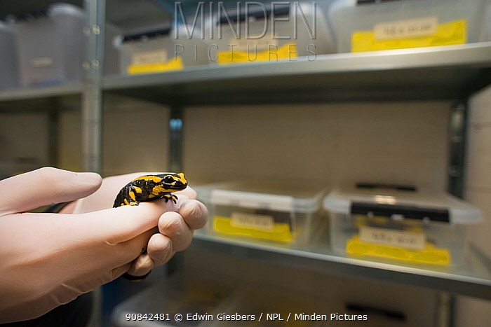A wild Fire salamander (Salamandra salamandra) held in gloved hands in front of plastic trays containing more fire salamanders, part of a program to capture the last wild population in the Netherlands and keep it safe in GaiaZOO to prevent infection from a deadly fungus, Batrachochytrium dendrobatidis. The Netherlands, March 2014.