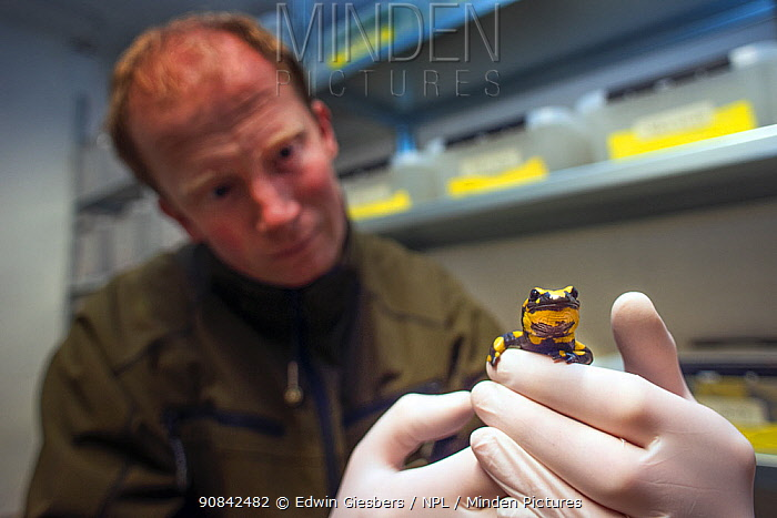 A wild Fire salamander (Salamandra salamandra) held by Bas Martens, Head of Animal Care at GaiaZOO. Part of a program to capture the last wild population in the Netherlands and keep it safe in GaiaZOO to prevent infection from a deadly fungus, Batrachochytrium dendrobatidis. The Netherlands, March 2014. Model released.