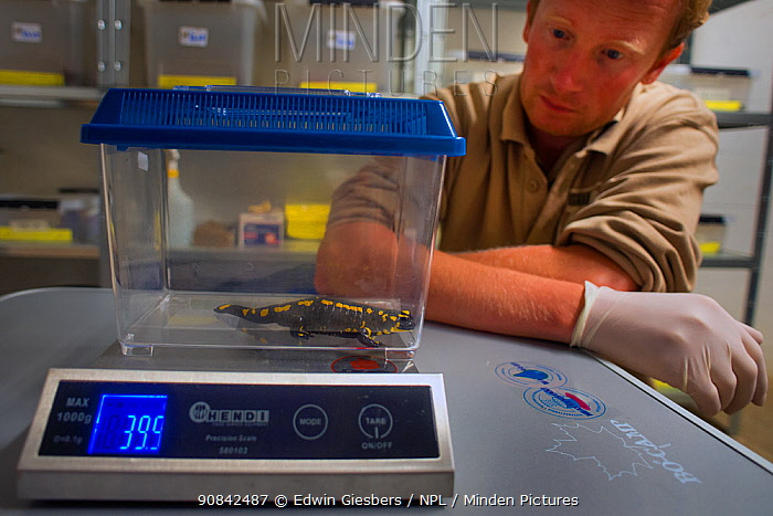 A wild Fire salamander (Salamandra salamandra) being weighed by Bas Martens, Head of Animal Care at GaiaZOOas part of a program to capture the last wild population in the Netherlands and keep it safe in GaiaZOO to prevent infection from a deadly fungus, Batrachochytrium dendrobatidis. The Netherlands, August 2014. Model released.