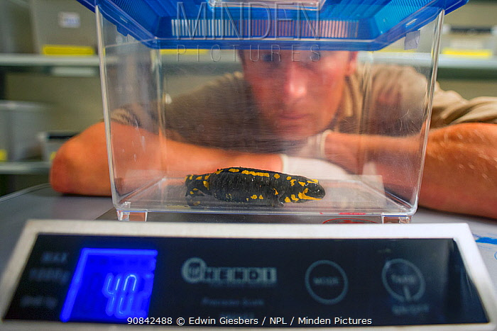 A wild Fire salamander (Salamandra salamandra) being weighed by Bas Martens, Head of Animal Care at GaiaZOO as part of a program to capture the last wild population in the Netherlands and kept it safe in GaiaZOO to prevent infection from a deadly fungus, Batrachochytrium dendrobatidis. The Netherlands, August 2014. Model released.
