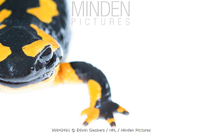 Close -up of a wild Fire salamander (Salamandra salamandra) captured and kept safe in GaiaZOO to prevent infection from a deadly fungus, Batrachochytrium dendrobatidis. The Netherlands, August, 2014.