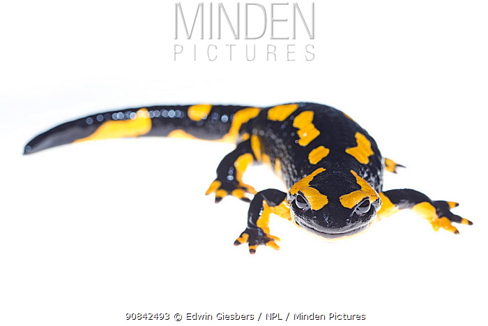 Wild Fire salamander (Salamandra salamandra) captured and kept safe in GaiaZOO to prevent infection from a deadly fungus, Batrachochytrium dendrobatidis. The Netherlands, August, 2014.