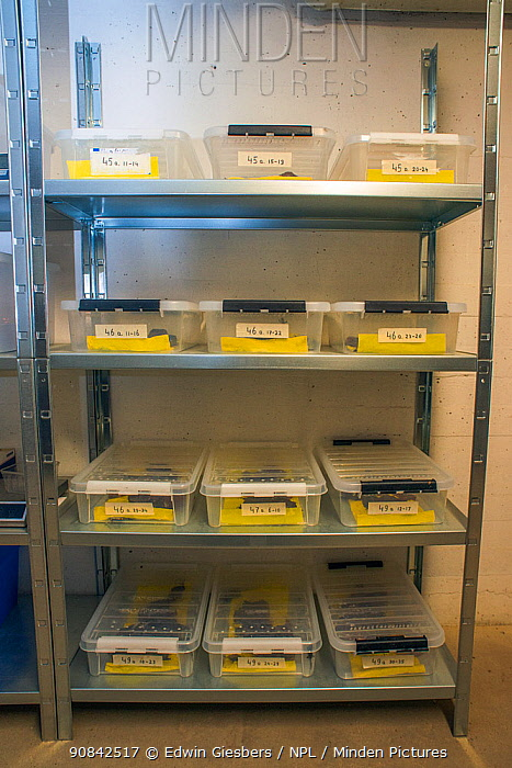 Shelves with containers housing the last wild Fire salamanders (Salamandra salamandra) in the Netherlands, captured and kept safe in GaiaZOO to prevent infection from a deadly fungus, Batrachochytrium dendrobatidis. The Netherlands, March 2014.