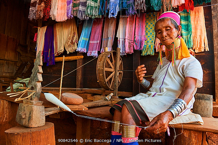 Kayan Lahwi woman with brass neck coils and traditional clothing spinning cotton in her shop. She has displayed behind her the hand woven fabric she sells to tourists. The Long Neck Kayan (also called Padaung in Burmese) are a sub-group of the Karen ethnic people from Burma. Women wear spiral coils around their neck and lower legs.They are also nicknamed 'giraffe women'. Pan Pet Region, Kayah State, Myanmar. April 2019.