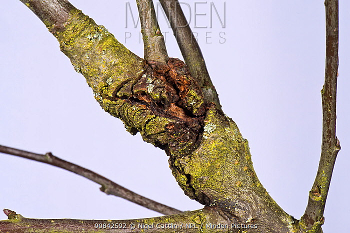 Apple canker (Neonectria ditissima) lesion in a branch of an old orchard tree. A fungus diseases, Berkshire, November.