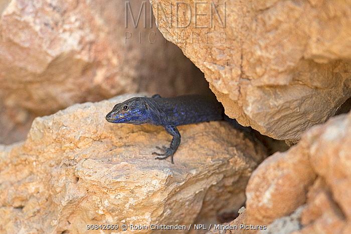 Lilford's wall lizard (Podarcis lilfordi) Mallorca, August.