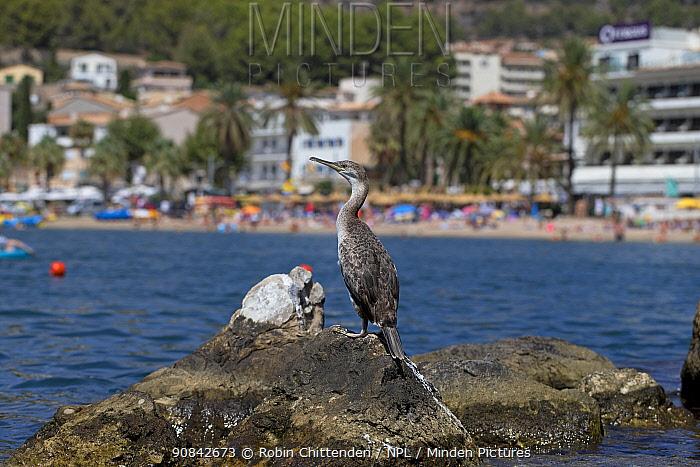 Shag (Phalacrocorax aristotelis desmarestii) perched on rock near beach, Mallorca, August 2019